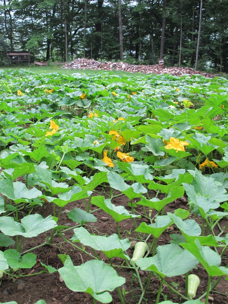 Three-quarters of our lower garden is now covered with pumpkin and winter squash vines. In the foreground are butternut squash.