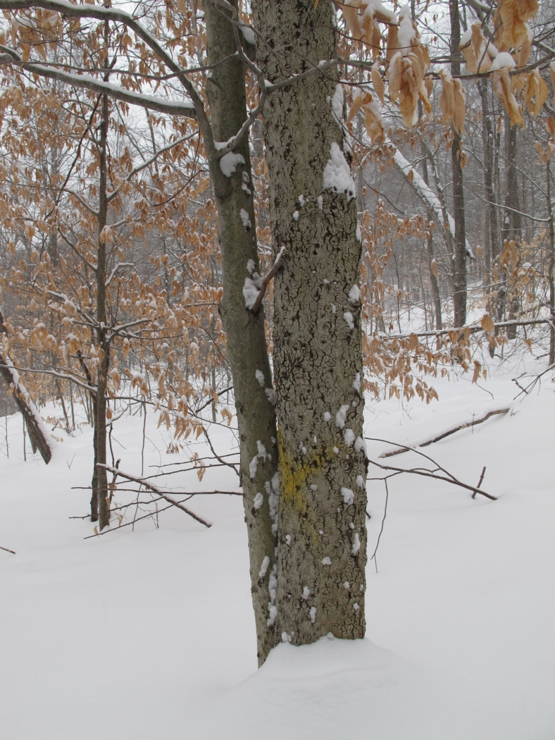 "The larger American beech in this photo is afflicted with Beech Bark Disease; it had been marked for harvesting in 2012, but didn't get cut. Once the trees reach about 8"" in diameter, they often become diseased. The species may eventually disappear from our woods. Photo: Alex Wilson"