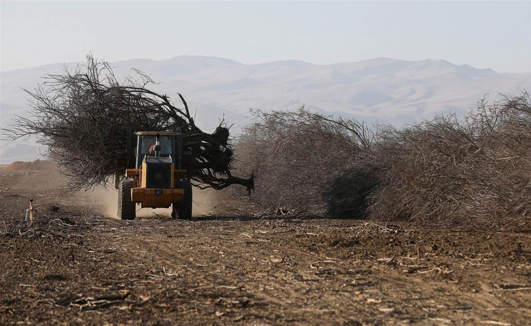 Almond trees being uprooted at Baker Farming in Firebraugh, California in February 2014 after loss of irrigation water. Photo: Justin Sullivan, Getty Images, NBC News