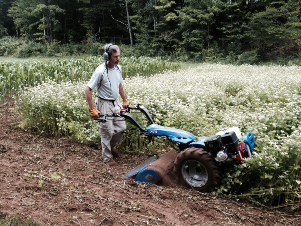 Tilling in a cover crop of buckwheat at Leonard Farm in mid-August. Photo: Allyn Copp